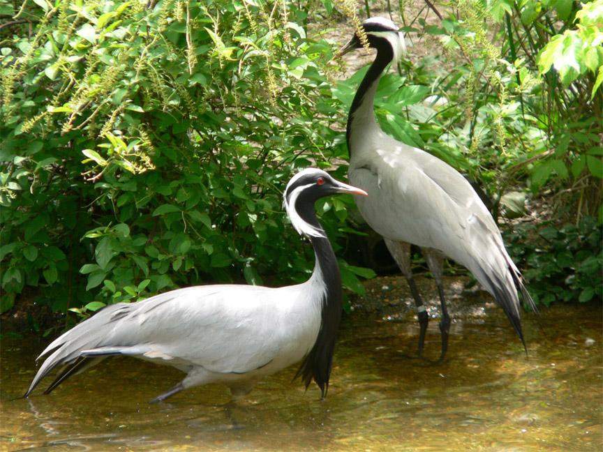 Demoiselle Crane in Nalsarovar Bird Sanctuary